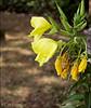 Teunisbloem tuin Zuidwolde