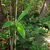 Bamboescheut in het bos
