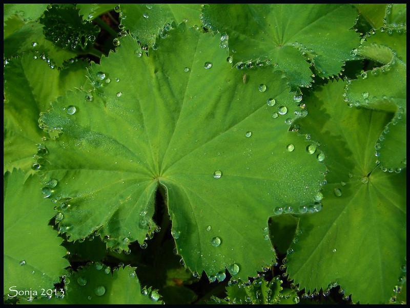 Vrouwenmantel (Alchemilla)  met regendruppels