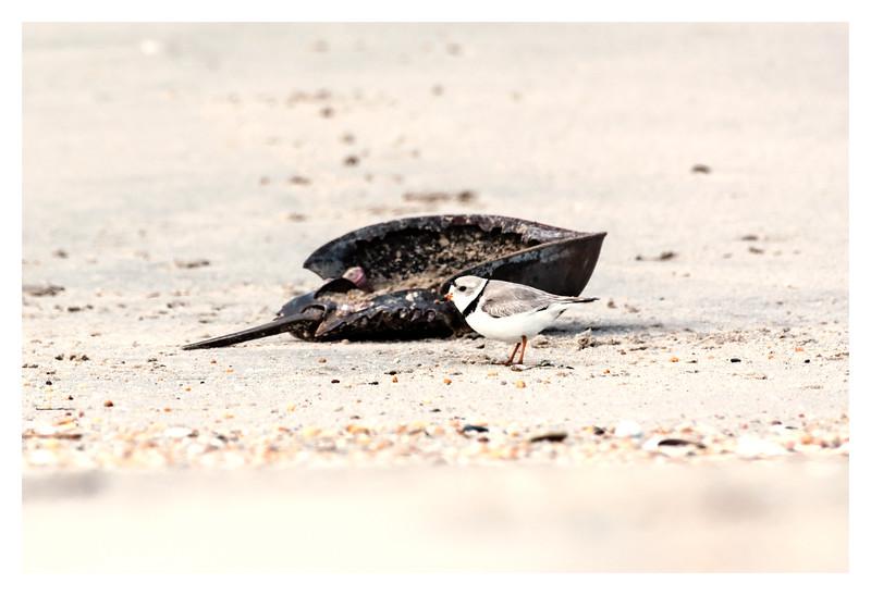 Piping Plover and Horseshoe Crab Exoskeleton