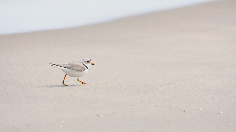 Piping Plover