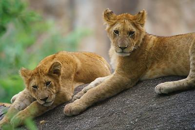 Lion Cubs, Serengeti National Park, Tanzania