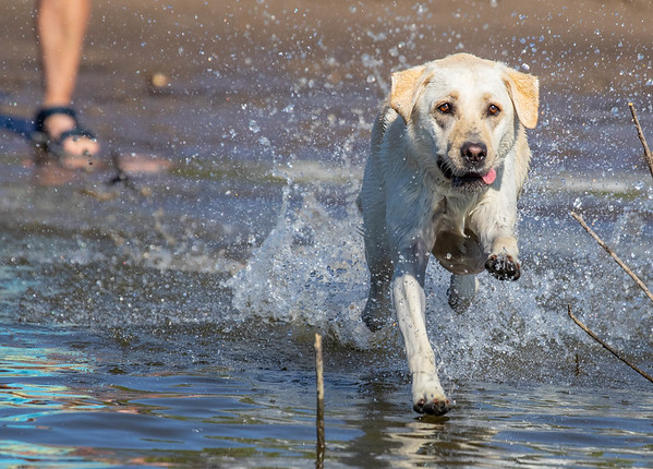 Labrador Retriever water bumper retireve