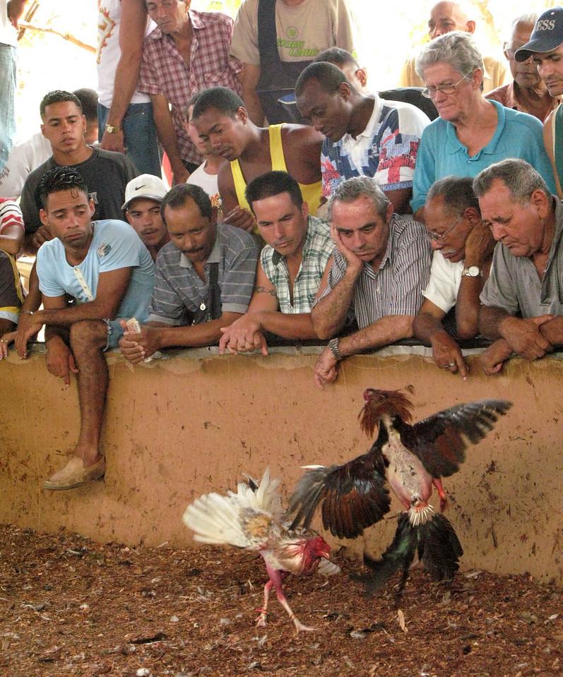 Los gallos peleando (Cockfight in Cuba) Part 4