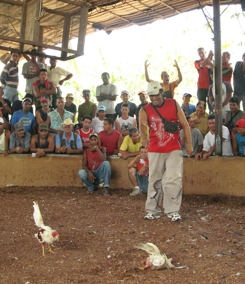 Los gallos peleando (Cockfight in Cuba) Part 5
