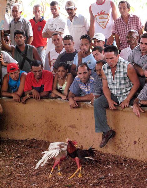 Los gallos peleando (Cockfight in Cuba) Part 8