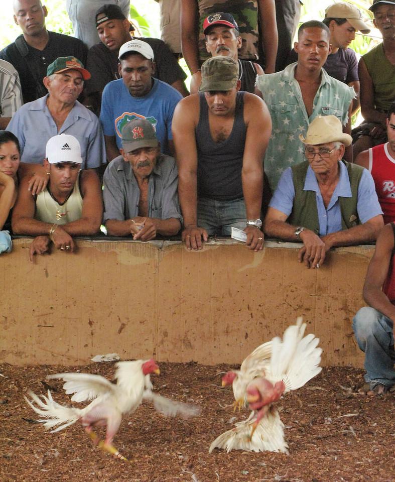 Los gallos peleando (Cockfight in Cuba) Part 7