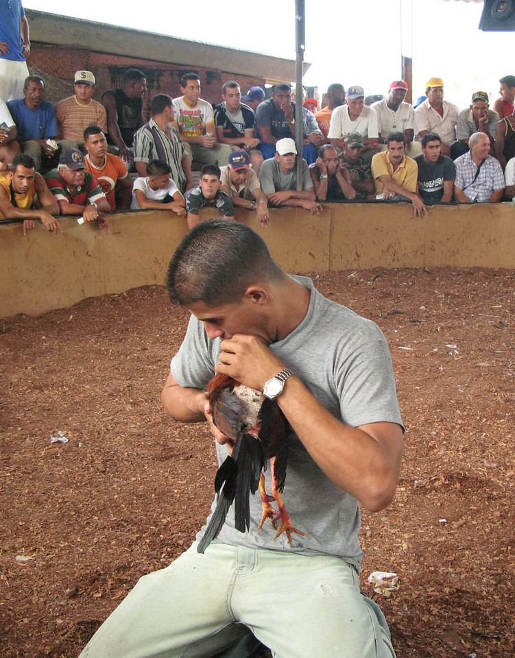 Los gallos peleando (Cockfight in Cuba) Part 3. In between rounds they resuscitate them by breathing into their mouths.