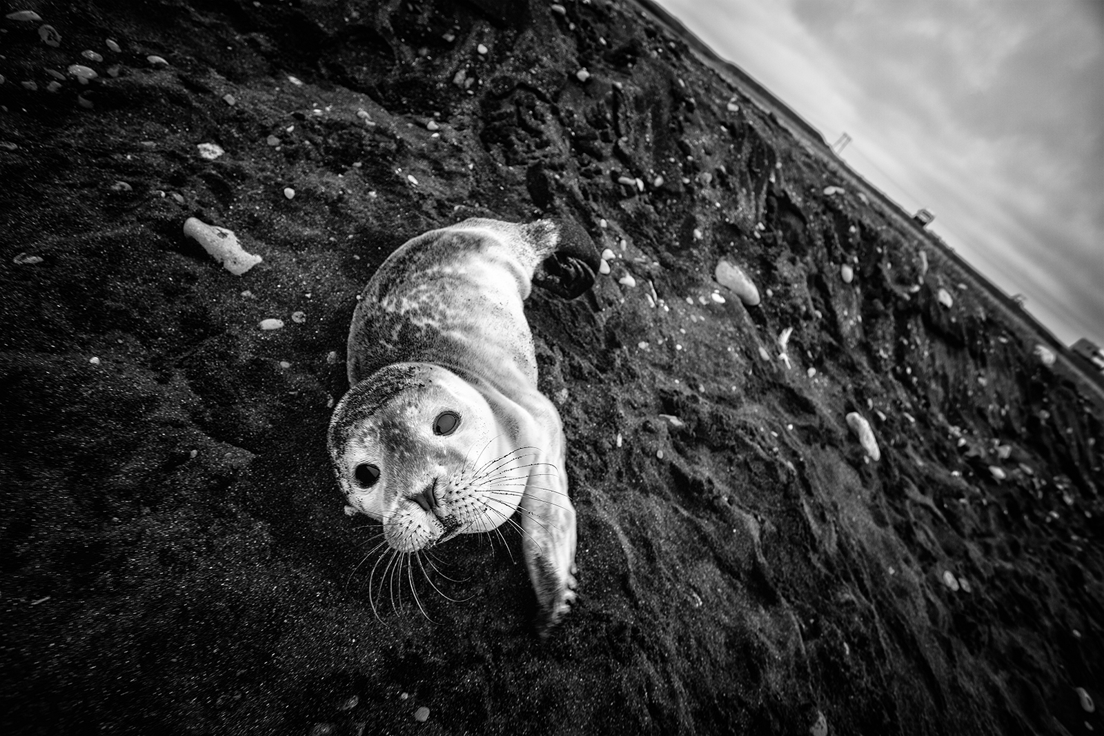 jokulsarlon, iceland, seal, baby seal, black and white, animal, B&W