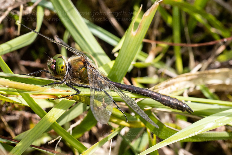 Common Emerald dragonfly