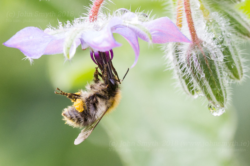 Bumblebee feeding on borage plant