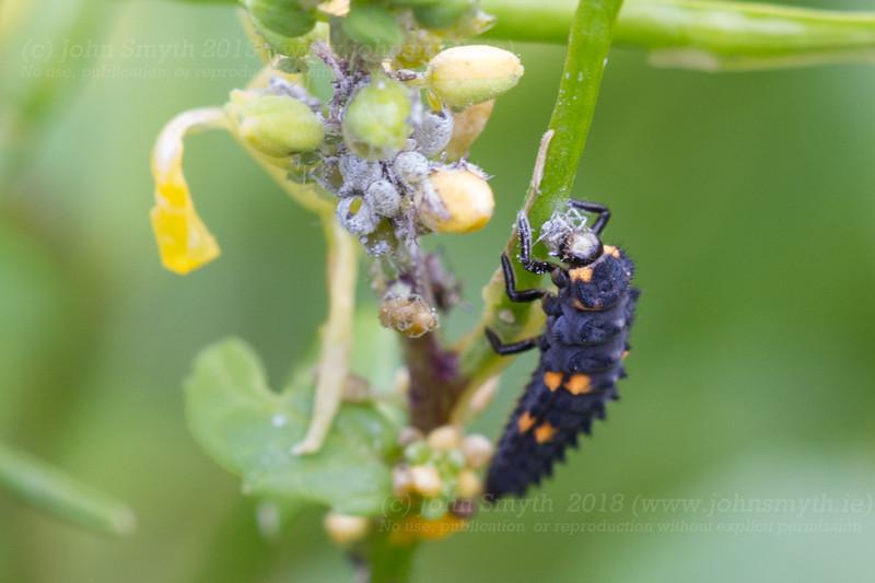 7-spot ladybird larva eating aphids