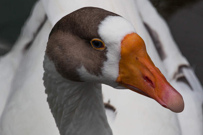 Injured goose recuperating in the Rusheen Bay sanctuary in Galway