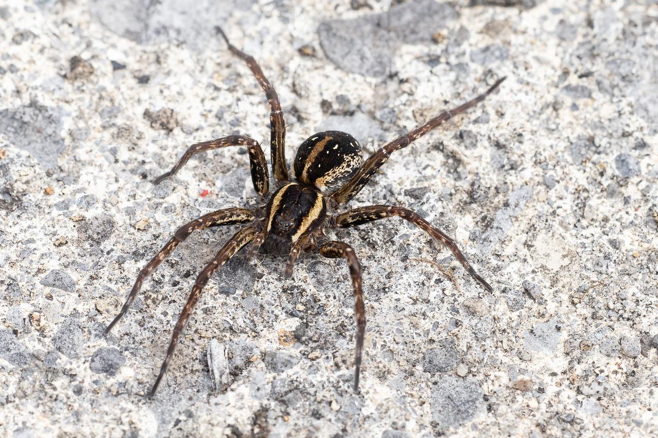 Swamp Spider