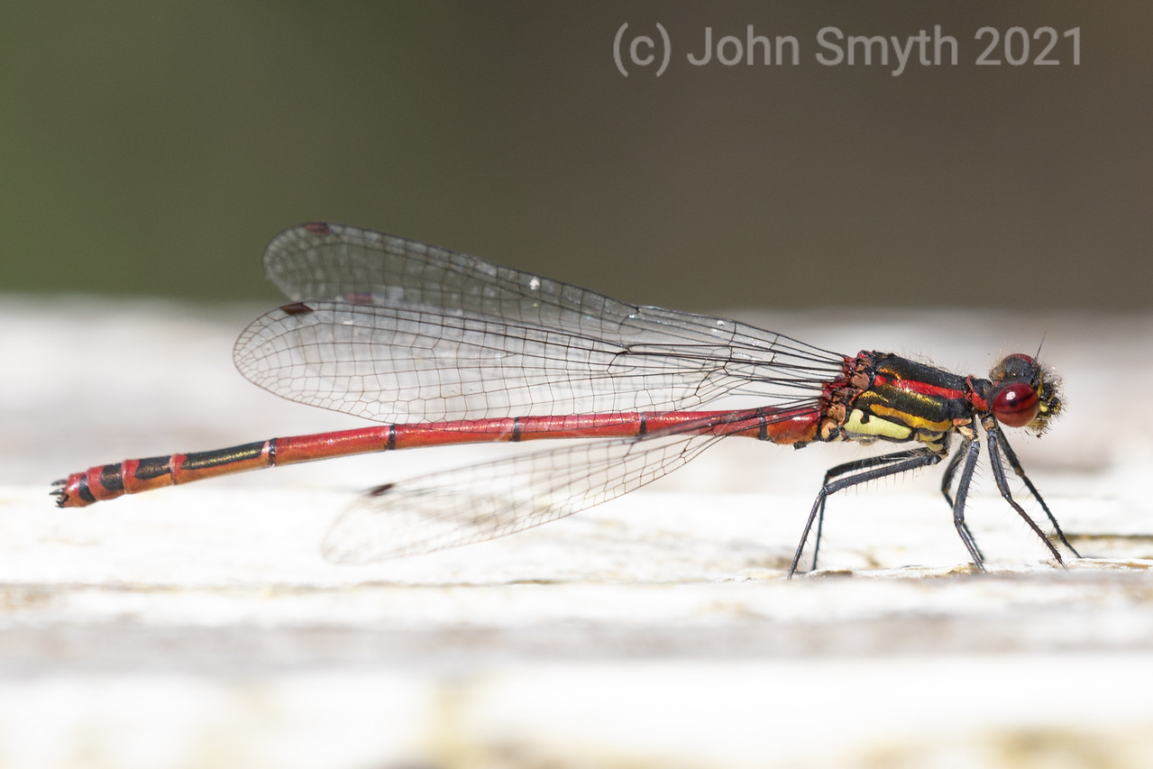 Macro image of a large red damselfly seen in side profile