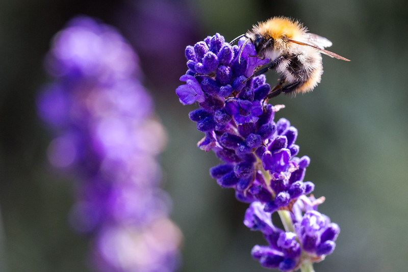 Bumblebee on lavendar