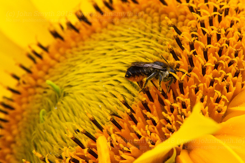 Leaf-cutter bee in a sunflower
