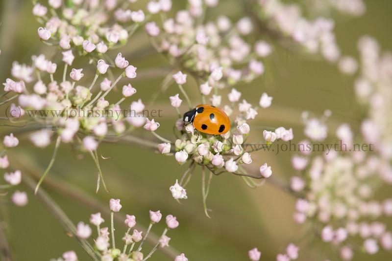 7-spot ladybird in Galway