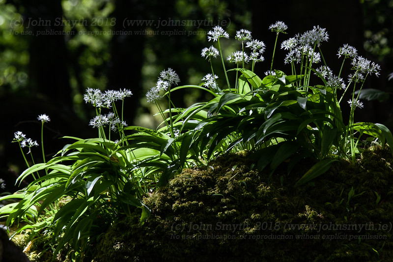 Wild Garlic in Menlo Woods