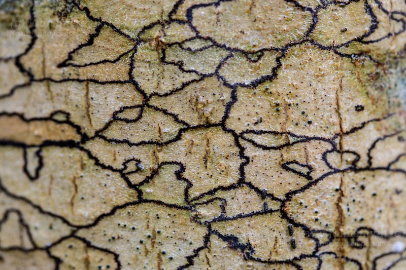 Lichen on ash tree (close-up)