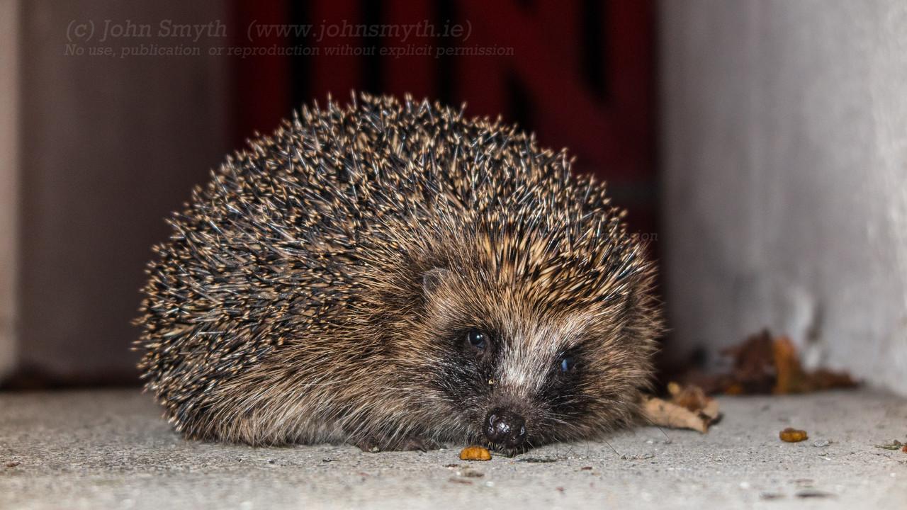 Hedgehog in Galway