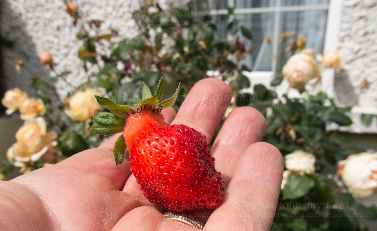 First strawberry of summer