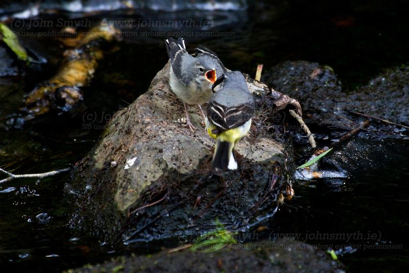 Grey wagtails feeding