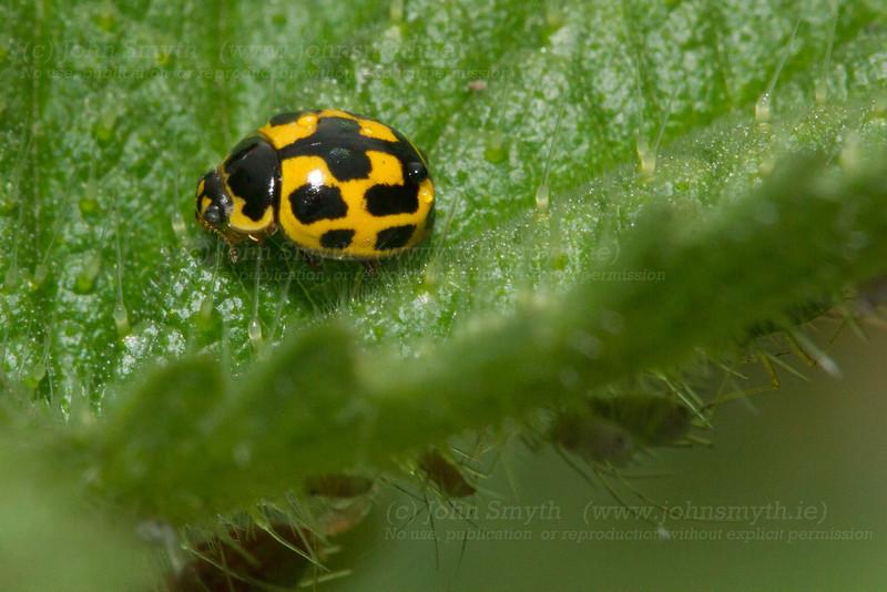 Yellow Ladybird