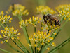 2009-07-24 Bees and Fennel :