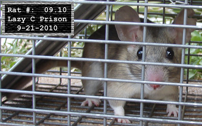 21Sep2010 Pack Rat Mugshot
