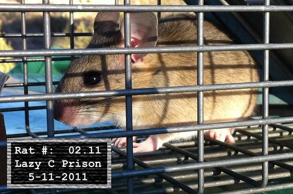 11May2011 Pack Rat Mugshot