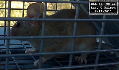 19Jun2011 Pack Rat Mugshot
