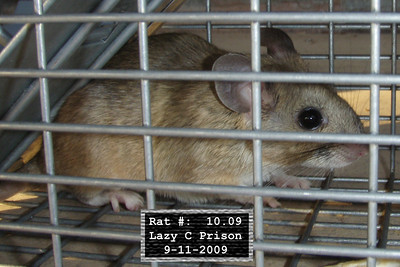 11Sep2009 Pack Rat Mugshot