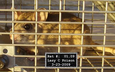 23Mar2009 Pack Rat Mugshot - 1