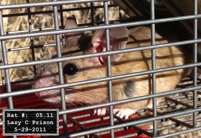 29May2011 Pack Rat Mugshot