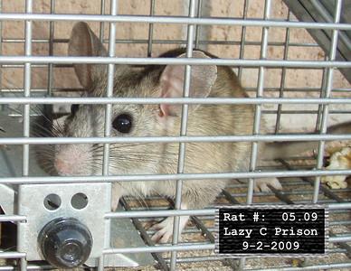 2Sep2009 Pack Rat Mugshot