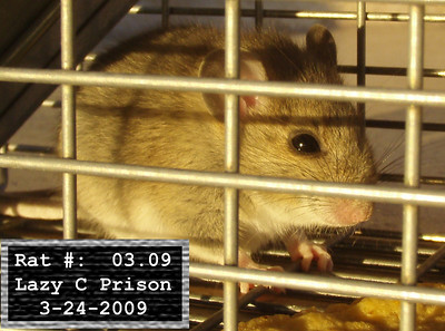 24Mar2009 Pack Rat Mugshot