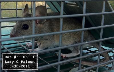 30May2011 Pack Rat Mugshot