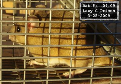 25Mar2009 Pack Rat Mugshot