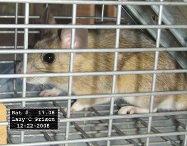 22Dec2008 Pack Rat Mugshot