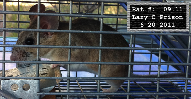 20Jun2011 Pack Rat Mugshot