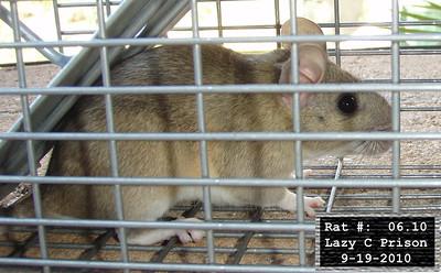 19Sep2010 Pack Rat Mugshot - 1