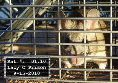15Sep2010 Pack Rat Mugshot