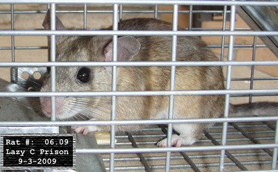 3Sep2009 Pack Rat Mugshot