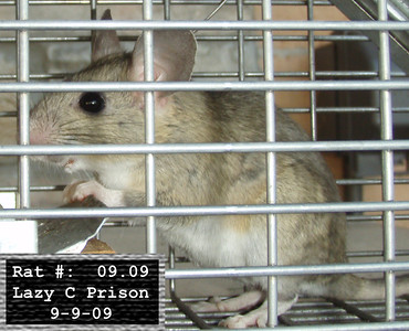 9Sep2009 Pack Rat Mugshot