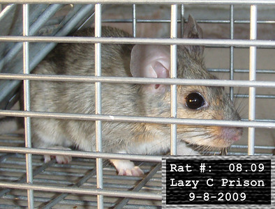 8Sep2009 Pack Rat Mugshot