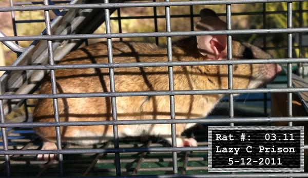 12May2011 Pack Rat Mugshot