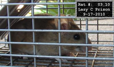 17Sep2010 Pack Rat Mugshot