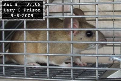 6Sep2009 Pack Rat Mugshot