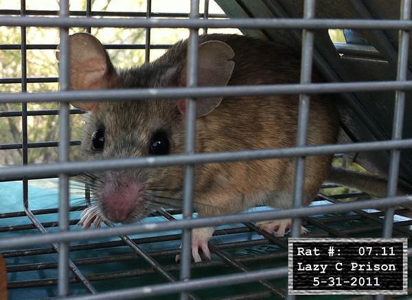 31May2011 Pack Rat Mugshot